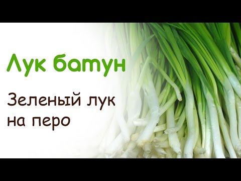 Как сеять лук батун под зиму