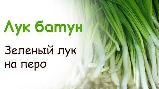 Зеленый лук на перо. Лук батун