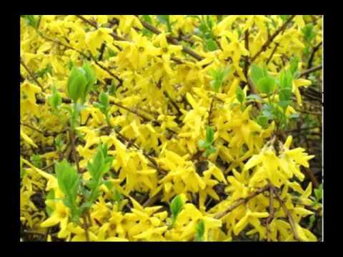 Forsythia Fruit Benefits