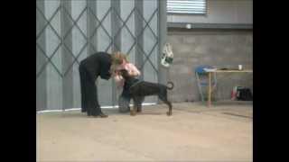 Working & Pastoral Breeds Association Of Wales 2012 Dobermann Open Bitch Class