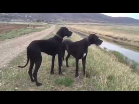 Raw fed Great Danes on a ketogenic diet (low-carb high-fat)