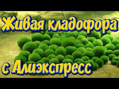 Живые водоросли для аквариума из Китая с Алиэкспресс! Кладофора шаровидная, Эгагропила Линнея!