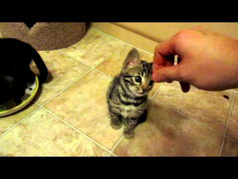 Cute Bengal Kitten Fascinated with Hand
