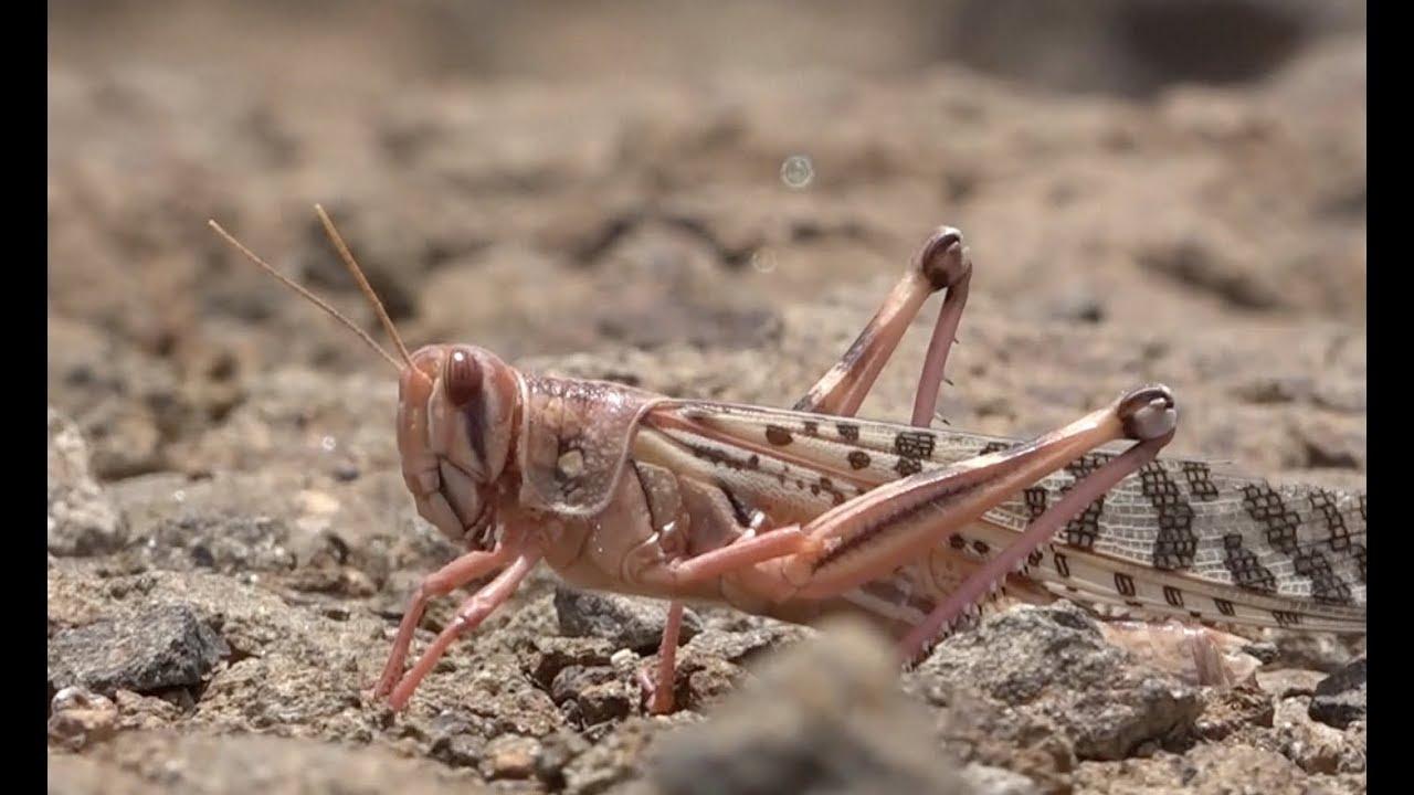 Locust Plague to Intensify Famine in Yemen - YouTube