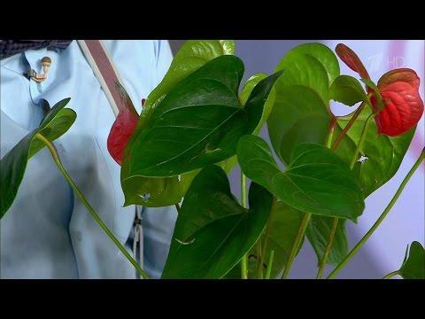 Жить здорово! Опасные комнатные растения.(29.08.2016)