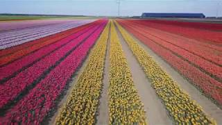 Dutch pride - Tulip fields