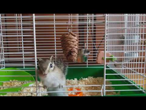 Домашний бурундук: где его взять?