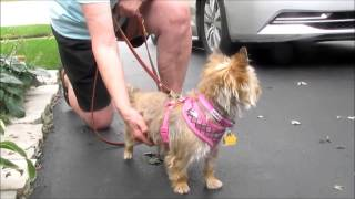 "Cairn Terrier ""cookie"" - For Adoption Through Cairn Rescue Usa"