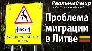 Проблема миграции в Литве. Заборы вдоль дорог и места перехода диких животных.