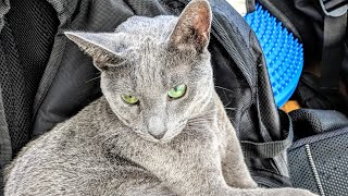 The story behind why we chose the Burmese and Russian Blue cats