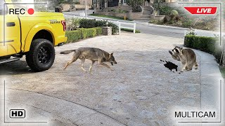 Coyote vs Raccoon Fight Caught on Camera!!!