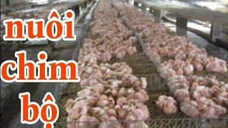 Nuôi bồ câu bộ sẽ như thế nào ( feed the pigeons themselves)  Zalo 0964 536 193