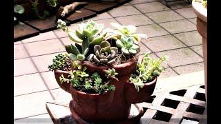 古い小型のストロベリーポットを使って多肉植物の寄せ植えを作りました...