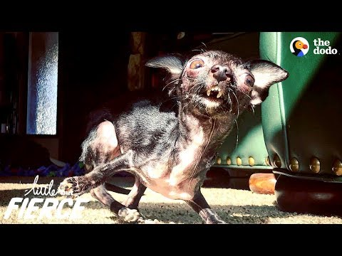 Tiny Dog Thanks Her Rescuer In The Sweetest Way | The Dodo Little But Fierce