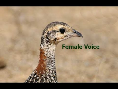 Kala teetar voice mp3 free download