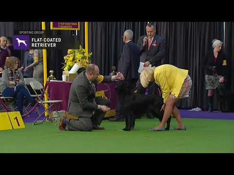 Retrievers (Flat-Coated) | Breed Judging 2019