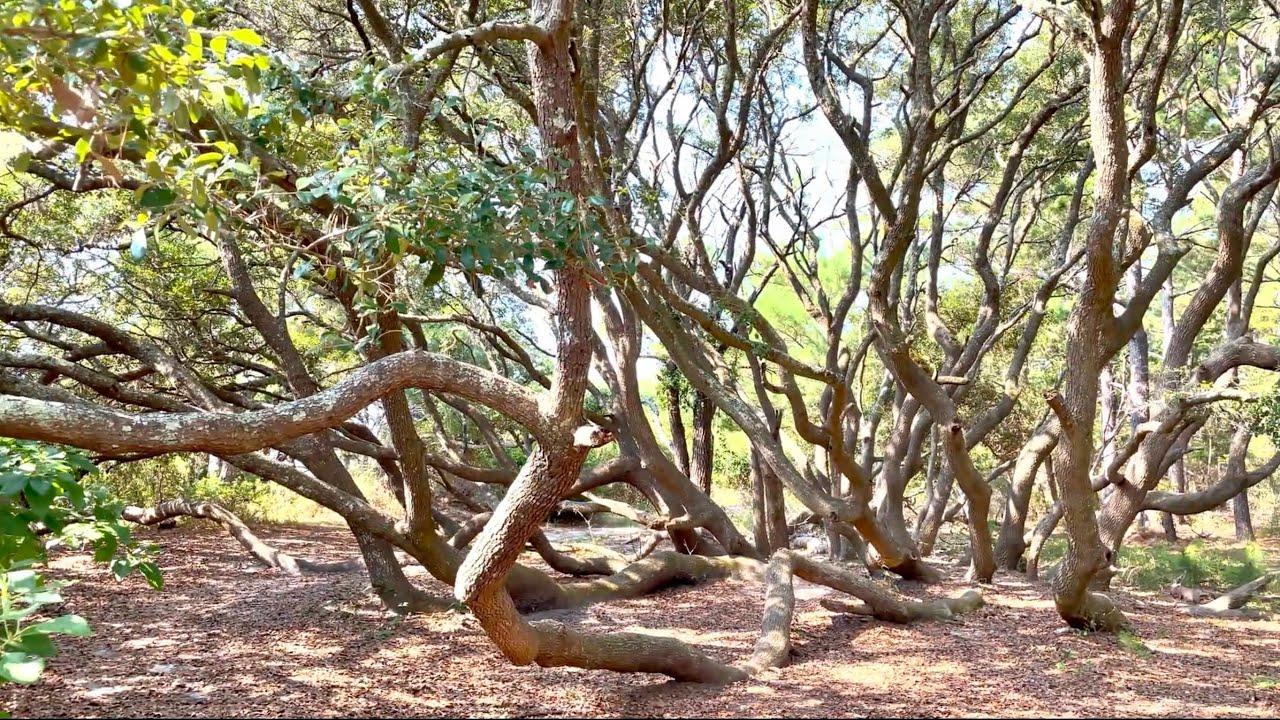 Amazing Tree and A Giant Spider at Huntington Beach State Park - Murrells Inlet, SC