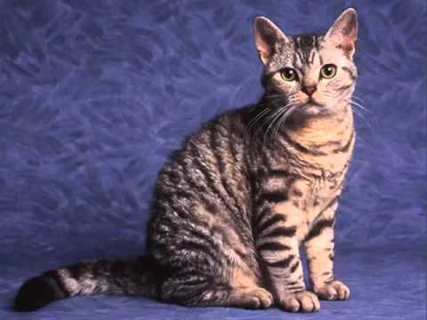 American Wirehair | Set Of Cat Breed Pictures