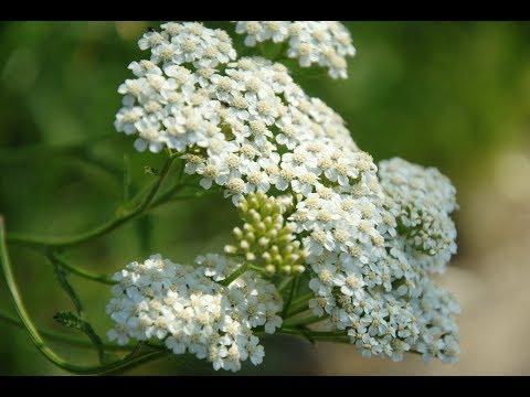 Řebříček a jeho účinky - Zdraví z přírody