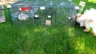 Rat, Guinea Pig, And Pomeranian Part 1