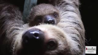 Luiaardjong blijkt mannetje | DierenPark Amersfoort