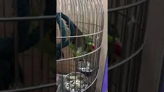 Александрийский попугай купается