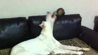 Ferret VS Dogo argentino