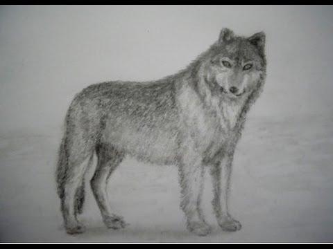 Cómo Dibujar Un Lobo A Lapiz Youtube