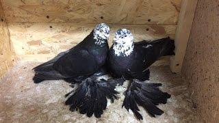 Боиные Голуби Алматы .Pigeons.Голуби (Сулейманов Эльдар ( Алматы, Казахстан )