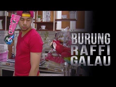 Diajak Bicara, Burung Tak Respon, Ini Ekspresi Tak Terduga Raffi Ahmad - Cumicam 12 Desember 2017