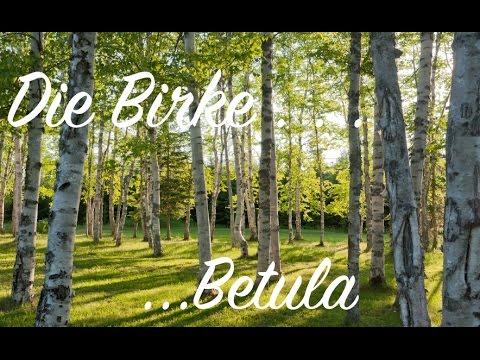 """Yamadori Bonsai """" Die Birke """" Baumvorstellung und Vorbeitung dazu"""" Betula pubescens, Pendüle"""
