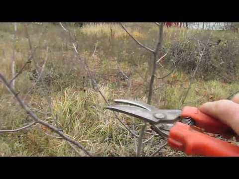 Как подрезать вишню осенью
