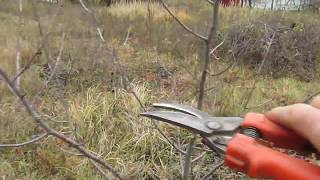 видео Обрезка вишни осенью - когда и как правильно ее делать