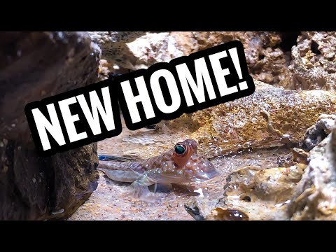 New Mudskipper Added To The Brackish Tank