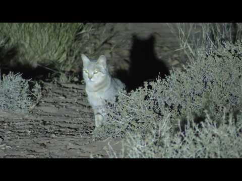 African Wildcat in the Desert!