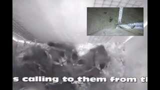 32 Wood Duck Ducklings Leaving The Nesting Box