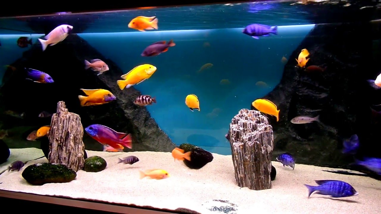 Malawi cichlids aquarium ,new dark design - YouTube
