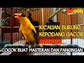 Kicauan Kepodang Gacor Suara Pancingan Semua Burung Kepodang  Gogor  Mp3 - Mp4 Download