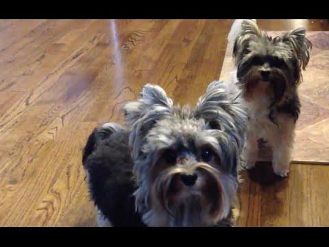 Real Smart Biewer Yorkie Terriers
