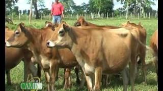 Raza Jersey y su producción lechera