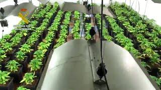 Desarticulan una organización polaca dedicada a la exportación de marihuana
