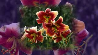 Разноцветные лилии под музыку Владимира Косма
