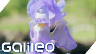 Bis zu 100.000€/Liter - Darum ist diese Blume so wertvoll! | Galileo | ProSieben