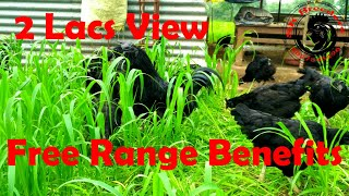 Kadakanth Free Range benefits , कड़कनाथ मुर्गे को बाहर घुमाने के फायदे