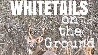 Скачать CHASING WHITETAIL BUCKS FROM THE GROUND