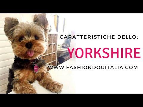Yorkshire: caratteristiche di razza