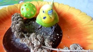 Что любит попугай?//Корм для волнистого попугая//Уход за попугаем