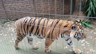 This is the Tiger video to watch ! thumbnail
