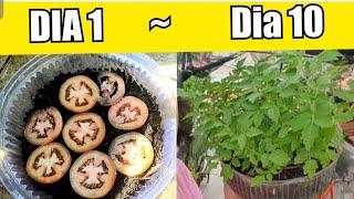A Forma mais Fácil de Plantar Tomates