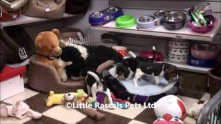 Little Rascals Uk Breeders New Litter Of Beagle Puppies